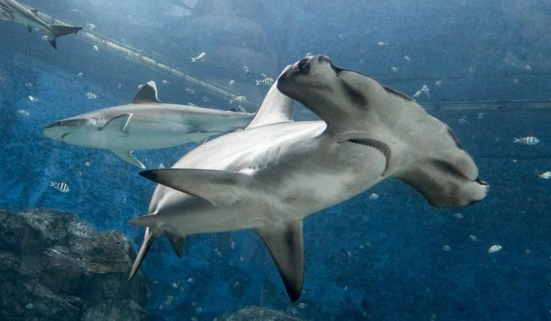 Спасем акул с лимиткой от Oris